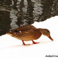 Прогулка по снегу :: Андрей Снегерёв