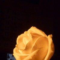 Солнце красит нежным цветом...белую розу :: Татьяна Юрасова