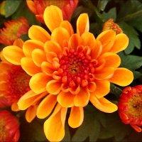 Яркие хризантемы :: Нина Корешкова