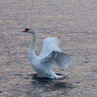 море и лебеди 2 :: Игорь Гарагуля