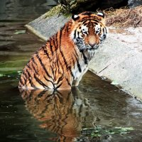 Сказка о том как тигр рыбку ловил )) :: Alexander Andronik