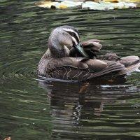 Pacific Black duck :: чудинова ольга