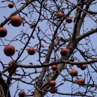 Кому яблочка зимнего мороженного? :: Ольга Кривых