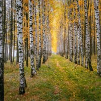 Осенние, берёзовые ритмы... :: Александр Никитинский