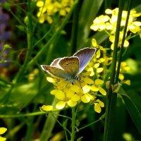 голубянка на желтом :: Александр Прокудин