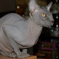 Сфинкс - кошка в жанре ню :: Сергей Владимирович Егоров