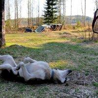 На охоту сегодня не пойду, живот болит! :: Натали Пам