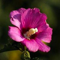 Сирийская роза :: Павел Руденко