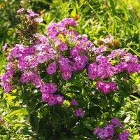 городские цветы-скромность флоксов :: Олег Лукьянов