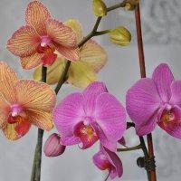 орхидеи :: Владимир