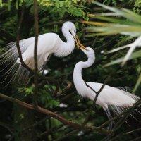 Great Egret (великая цапля) :: Naum