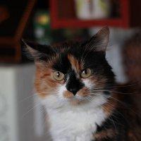 Кошка :: Вера Аксёнова