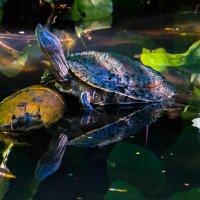 turtle :: Andrei Antipin