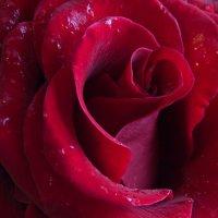 роза :: Валентина M
