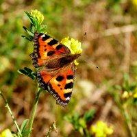 крапивница на цветке :: Александр Прокудин