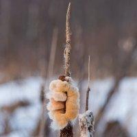 Рогоз зимой. :: Владимир Лазарев