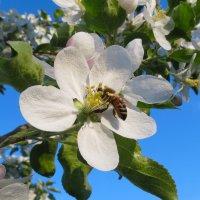 Пчела и яблоня. :: Валерий Медведев