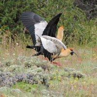 Black-faced Ibis :: чудинова ольга