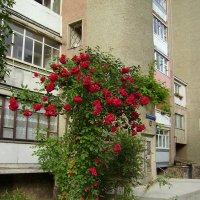 Розовый  куст   в   Ивано - Франковске :: Андрей  Васильевич Коляскин