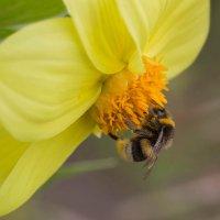 На жёлтом цветке :: Елена Ахромеева