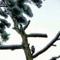 Дятел в зимнюю пору :: Михаил Новиков