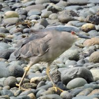 Black-crowned Night Heron :: чудинова ольга