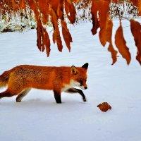 Рыжий лис :: Valentina M.