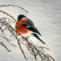 Снегирь на полыни :: Милешкин Владимир Алексеевич