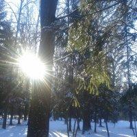 Солнечный лес :: Сапсан