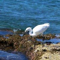 серая цапля на берегу Средиземного моря ловит маленькую рыбу :: vasya-starik Старик