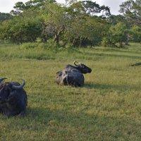 Буйволы в саванне. Заповедник Яла. Цейлон.Buffalos in the Savannah. Yala Reserve. Ceylon. :: Юрий Воронов