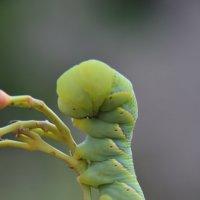 Гусеница бражник мертвая голова :: Тамара