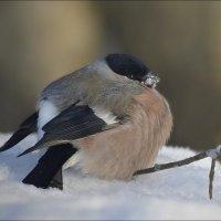 Снегериха на отдыхе... :: Андрей Медведев