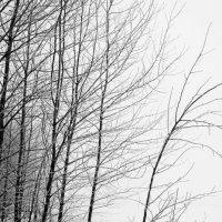 деревья :: Ольга Барчан