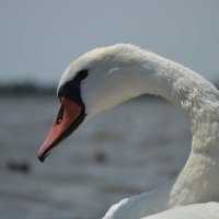Лебедь :: Тамара