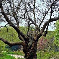 уставшее дерево :: Александр Корчемный