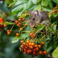 Мышка с ягодками :: Valentina M.