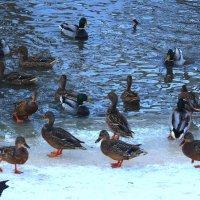 Утки зимуют в городе :: Татьяна Ломтева