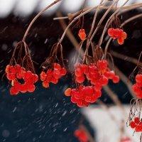 калина в снегопад :: Александр Прокудин