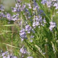 Травы луговые. :: Lara