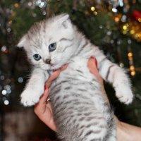 Новогодний котёнок :: Dr. Olver  ( ОлегЪ )