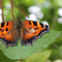 Бабочка :: Цветочек :)