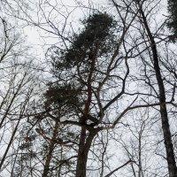 Деревья :: Николай Холопов