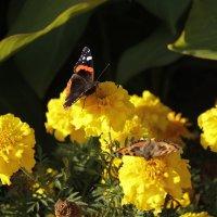Бабочки :: Вера Аксёнова