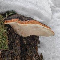 Трутовые грибы :: Va-Dim ...