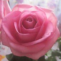 Розовая роза :: Елена Семигина