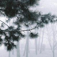 Туман...  туман... Сосновая  вуаль... :: Валерия  Полещикова