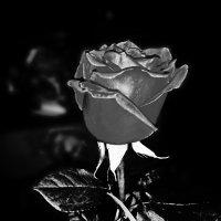 Роза :: Шура Еремеева