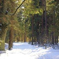 еловый лес :: оксана