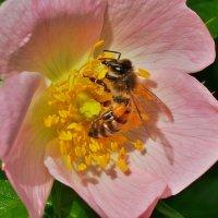 Вкусный нектар :: Swetlana V
